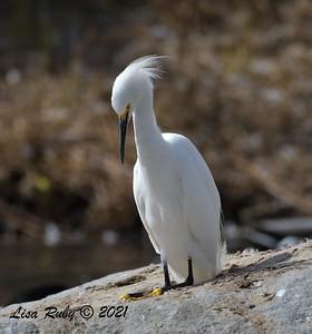 Snowy Egret  - 9/2/2021 - Webb Park