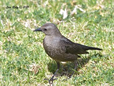 Brewer's Blackbird  -  4/2/2021 - Webb Park