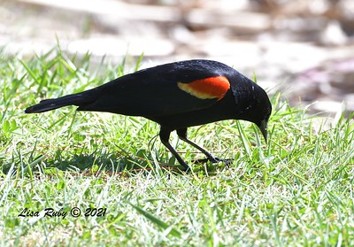 Red-winged Blacbird  -  4/2/2021 - Webb Park