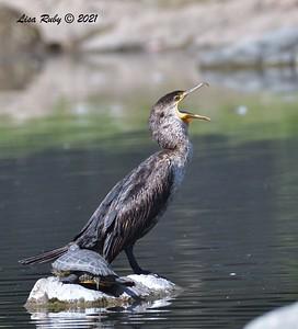 Double-crested Cormorant  -  4/2/2021 - Webb Park