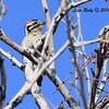 Ladder-backed Woodpecker - 4/3/2016 - Agua Caliente County Park