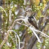 Hummingbird ? Costa's? Black-chinned?  - 5/26/2016 - Tamarisk Grove Campground