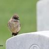 Say's Phobe - 6/14/2015 - Fort Rosecrans National Cemetery