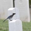 Juvenile Scrub Jay - 6/14/2015 - Fort Rosecrans National Cemetery