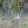 Whimbrel and Willet  - 10/23/2016 - Famosa Slough