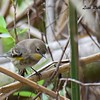 Yellow-rumped Warbler  - 10/23/2016 - Famosa Slough