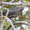 Gray Catbird - 10/23/2016 - Famosa Slough
