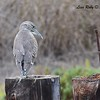 Immature Black-crowned Night Heron  - 10/23/2016 - Famosa Slough