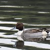 Northern Pintail  - 10/23/2016 - Famosa Slough