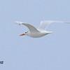 Royal Tern  - 7/5/2015 - Imperial Beach
