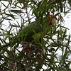 Red-masked Parakeet American Crow - 5/19/2016 - Point Loma Nazarene University