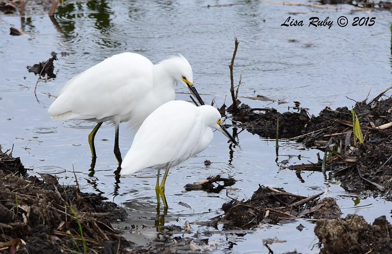 Snowy Egrets - 12/27/2015 - Poway Creek