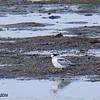 Common Tern - 10/4/2016 - Robb Field