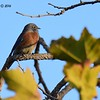 Western Bluebird - 10/09/2016 - Sabre Springs