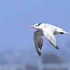 Royal Tern - 10/1/2016 - Salt Works