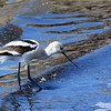 American Avocet - 10/1/2016 - Salt Works