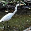 Great Egret - 5/22/2016 - Penasquitos Canyon Preserve