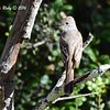 Ash-throated Flycatcher - 5/22/2016 - Penasquitos Canyon Preserve