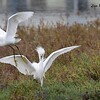 Snowy Egrets  - 11/26/2015 - Tijuana River Estuary