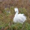 Snowy Egret - 11/26/2015 - Tijuana River Estuary