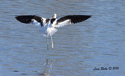 American Avocet  - 1/28/2015 - San Joaquin Wildlife Sanctuary