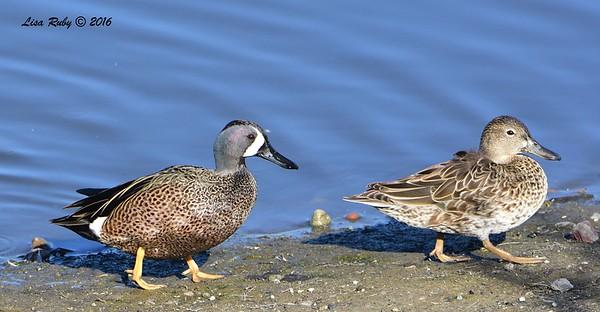 Blue-winged Teals  - 1/28/2015 - San Joaquin Wildlife Sanctuary