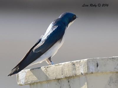 Tree Swallow  - 1/28/2015 - San Joaquin Wildlife Sanctuary