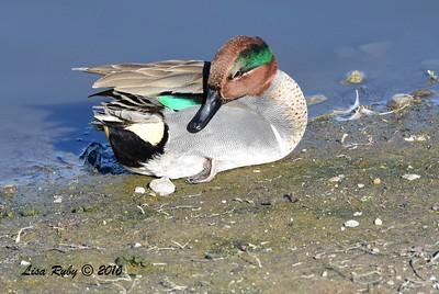 Green-winged Teal  - 1/28/2015 - San Joaquin Wildlife Sanctuary