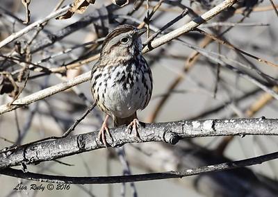 Song Sparrow  - 1/28/2015 - San Joaquin Wildlife Sanctuary