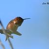 Allen's Hummingbird - 1/28/2015 - San Joaquin Wildlife Sanctuary