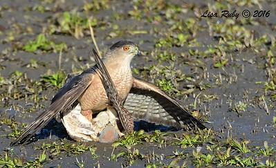 Cooper's Hawk with American Kestrel - 1/28/2015 - San Joaquin Wildlife Sanctuary