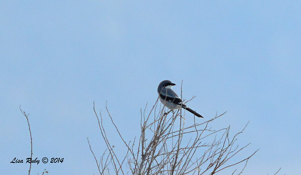 Loggerhead Shrike - 11/30/2014 - San Jacinto Wildlife Area