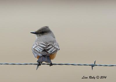Say's Phoebe - 11/30/2014 - San Jacinto Wildlife Area (Davis Road)