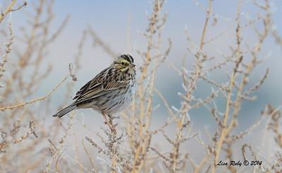 Savannah Sparrow - 11/30/2014 - San Jacinto Wildlife Area (Davis Road)