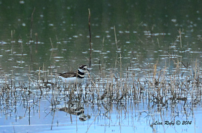 Killdeer - 11/30/2014 - San Jacinto Wildlife Area