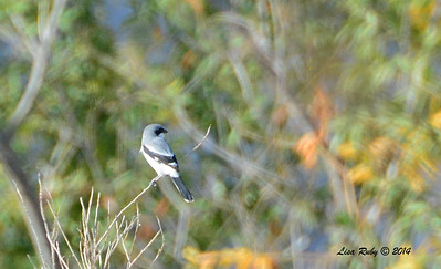 Back of Loggerhead Shrike - 11/30/2014 - San Jacinto Wildlife Area