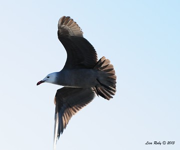 Heerman's Gull - 3/2/2013 - SD Bird Festival Pelagic