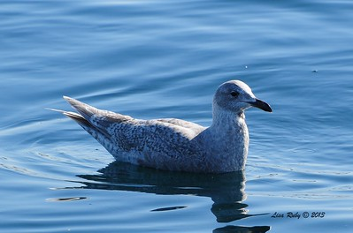 Glaucous-winged Gull - 3/2/2013 - SD Bird Festival Pelagic