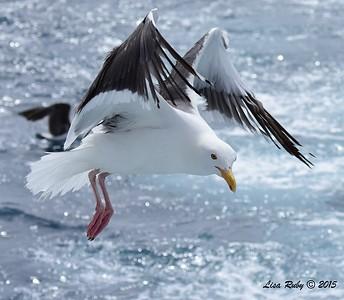 Western Gull  - 4/25/2015 - Pelagic from Point Loma