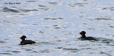 Male Surf Scoters  - 4/25/2015 - Pelagic from Point Loma