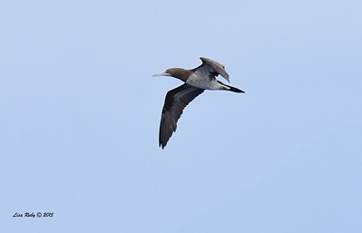 Brown Booby  - 4/25/2015 - Pelagic from Point Loma