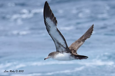 Pink-footed Shearwater  - 4/25/2015 - Pelagic from Point Loma