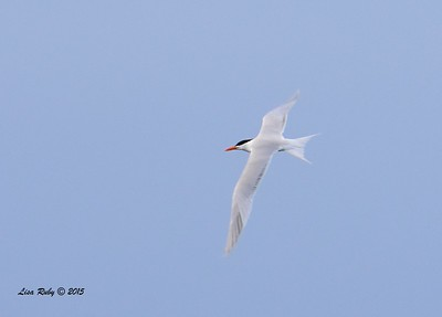 Royal Tern - 4/25/2015 - Pelagic trip out of Point Loma
