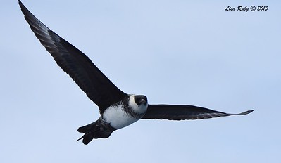 Pomarine Jaeger  - 4/25/2015 - Pelagic from Point Loma