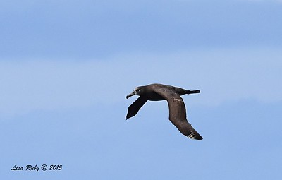 Black-footed Albatross  - 4/25/2015 - Pelagic from Point Loma