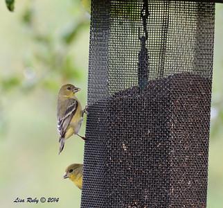 Lesser Goldfinch - 3/2/14 - Birding 100 San Diego Bird Festival