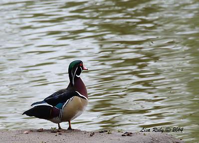 Wood Duck - 3/2/14 - Birding 100 San Diego Bird Festival