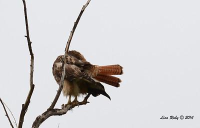 Nice view of Red-tailed Hawk tail - 3/2/14 - Birding 100 San Diego Bird Festival