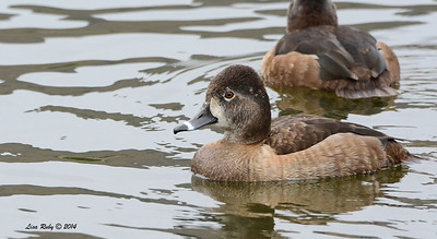 Female Ring-necked Duck - 3/2/14 - Birding 100 San Diego Bird Festival