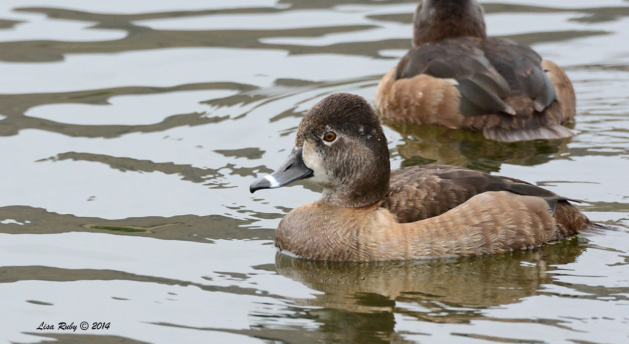 Female Ring-necked Duck - 3/2/14 - Birding 100 San Diego Bird Festival